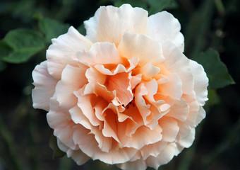 yellowish-white rose