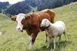 canvas print picture - Kuh und Schaf