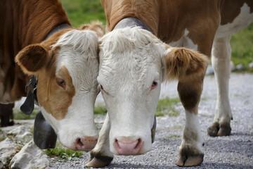 Rinderpaar