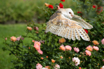 Barbagianni in volo su un cespuglio di rose
