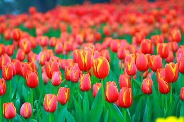 Orange tulips in