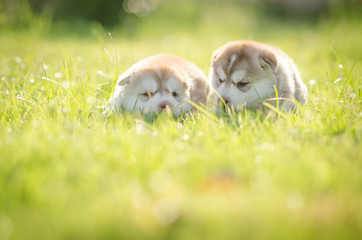 Cute puppy siberian husky  on grass