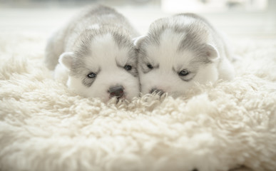Cute puppy siberian husky