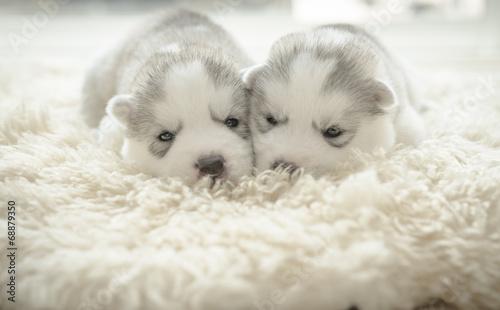 Cute puppy siberian husky © lalalululala