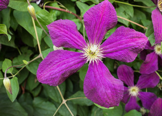 Clematis with purple flowers in the summer garden