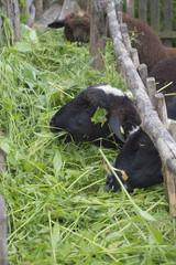 Three sheep eat fresh grass in sheepfold