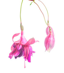 flower of a fuchsia  isolated on the white, Rocket Fare