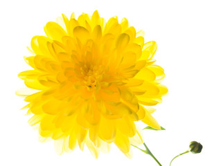 big yellow chrysanthemum,  isolated on white background