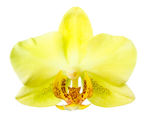 Blooming yellow orchid is  isolated on the white  background,  c