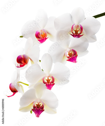 Beautiful flower Orchid, white with red phalaenopsis closeup i