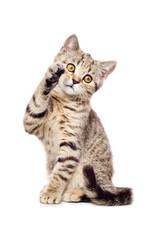 Portrait of a playful kitten Scottish Straight