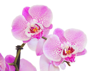 pink  orchid branch close up