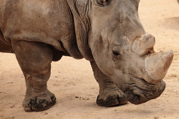 portrait of white rhino