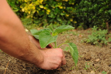Farmer's hands planting a sunflower little plant