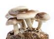 shiitake mushroom. - 68884755