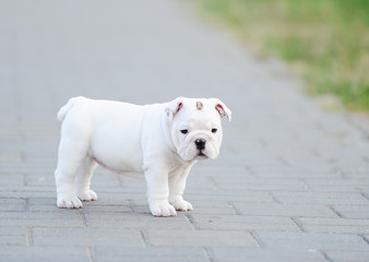 Puppy of an English bulldog
