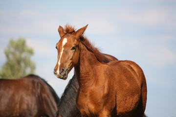 Beautiful chestnut foal
