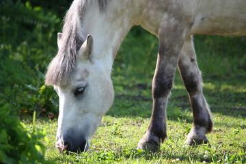 Cute shetland pony at the pasture