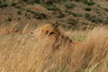 lion in a grass