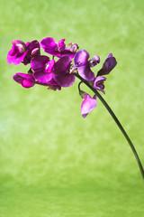 Fiore viola sfondo verde, illuminazione in studio