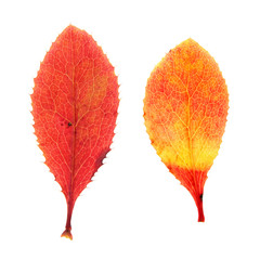 Red autumn leaves of Barberry isolated on white