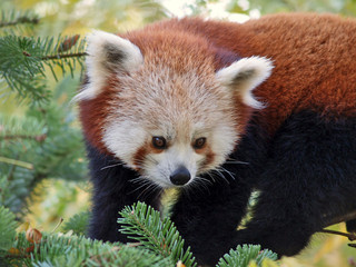 Esemplare di panda minore (Ailurus fulgens)