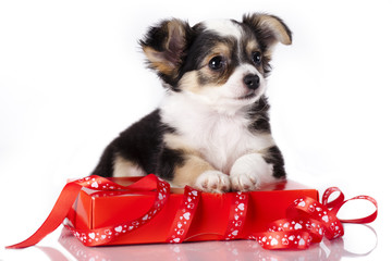 chihuahua and  gift packaging