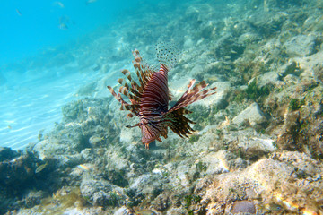 Lionfish in Cayo Coco