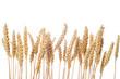 Espigas de cereal de trigo aisladas sobre fondo blanco cebada - 68890774