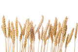 Espigas de cereal de trigo aisladas sobre fondo blanco cebada