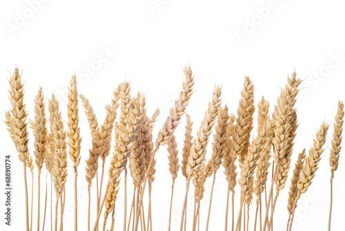 Leinwanddruck Bild Espigas de cereal de trigo aisladas sobre fondo blanco cebada