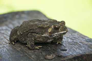 Toad on timber