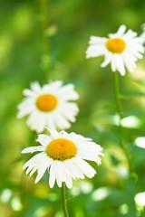 Ox-eye daisy flowers on green meadow