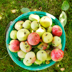 bucket with ripe apples in fruit orchard in summer day