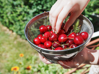 woman eats ripe red sweet cherries