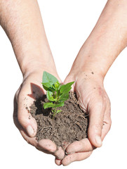 peasant hands with soil and green sprout