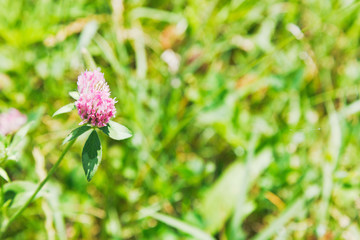 clover flower on green meadow