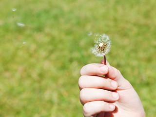 girl blows a dandelion parachutes