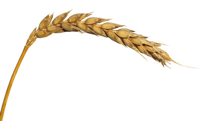 yellow ear of wheat isolated on white