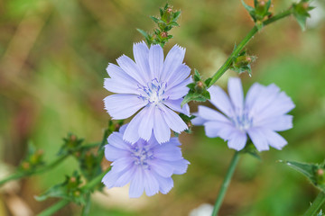 blue flowers of common chicory close up