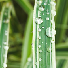 rain drops on green blades of carex close up