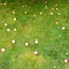 fallen ripe apples lie on green grass in summer day