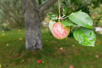 red apple on tree over fallen ripe fruits
