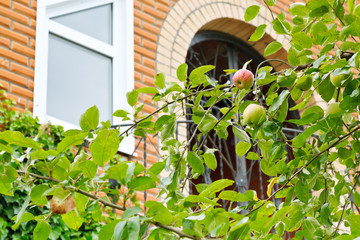 apple tree branch in front of new country house