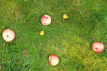 few fallen ripe apples lie on green grass