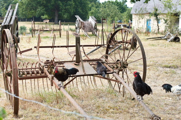 Chicken and abandoned farm equipment in backyard