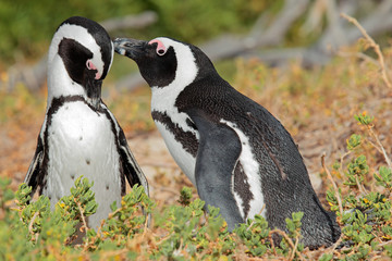 Breeding pair of African penguins