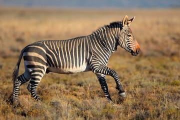 Running Cape Mountain Zebra