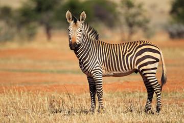 Hartmanns Mountain Zebra