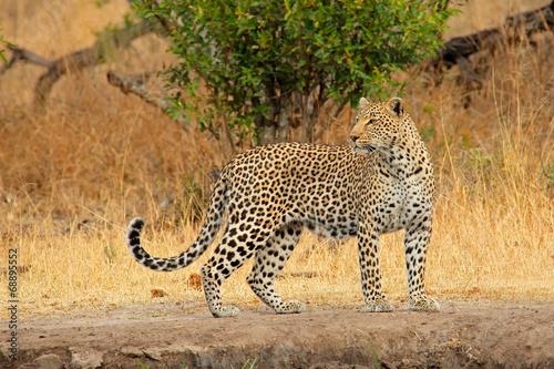 Plexiglas Luipaard Alert leopard